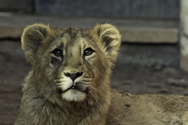 Lion by Truffes Du Jour
