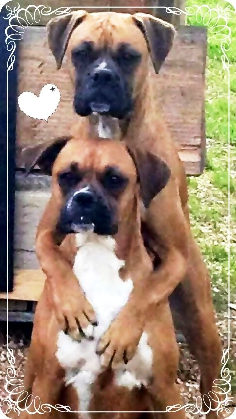 We Count On Each Other No Matter What Dogs Pets Boxers Facebook Com Sodoggonefunny Boxer Dog Puppy Boxer Dogs Funny Boxer Dogs