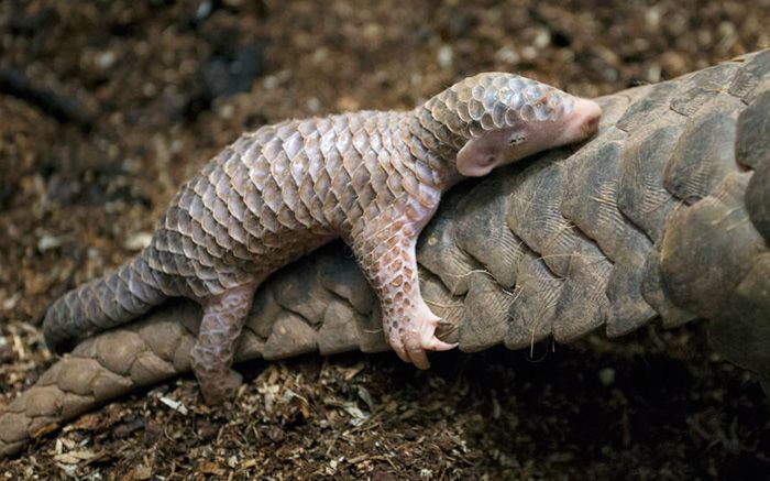 An adorable little baby Pangolin hanging onto its mother's tail http://ift.tt/2lDmBFV