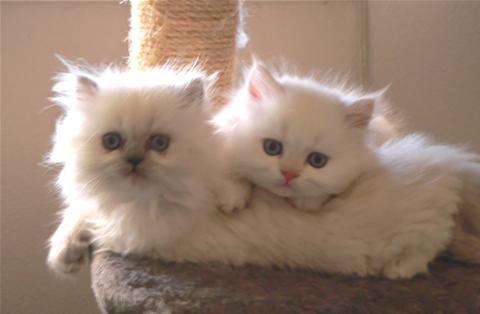 Beautiful And Healthy 9 Week Old Himalayan Kittens Himalayan