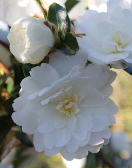 Snow On The Mountain Camellia : mountain, camellia, Thought, Could, Snow-on-the-Mountain,, You'll, Right?,, Won't, Rainbow, Park,, Garden, Plants,, Showy, Flowers