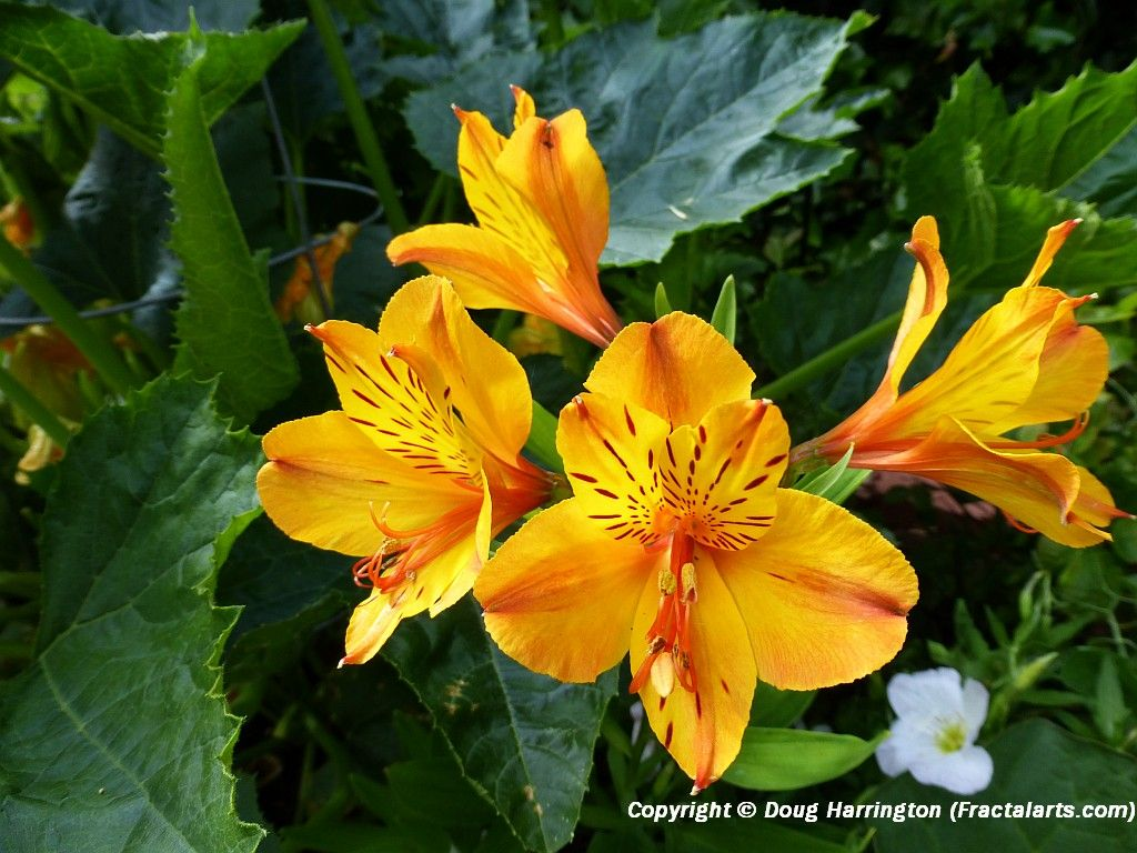 Another Variety Of Peruvian Lily In My Garden My Garden Pacific