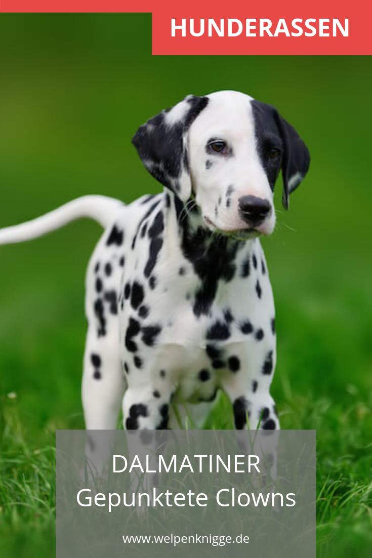 Dalmatiner Welpen Dalmatiner Welpen Hunderassen Welpen