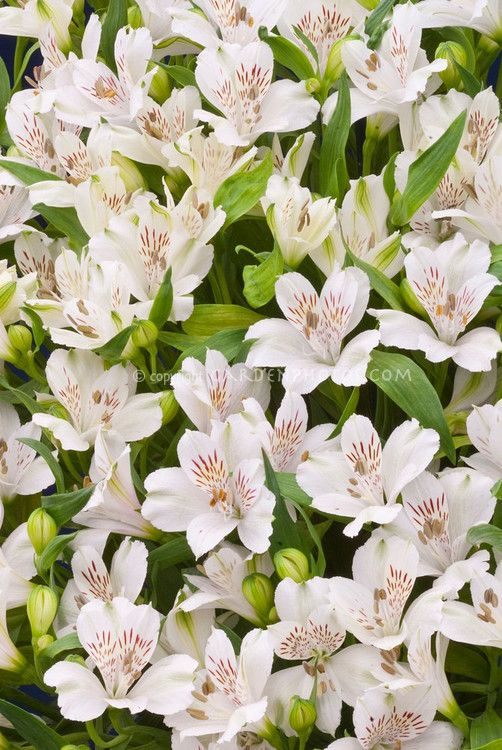 Pin By Maureen On Art Flower Stock Photography White Flowers Alstroemeria