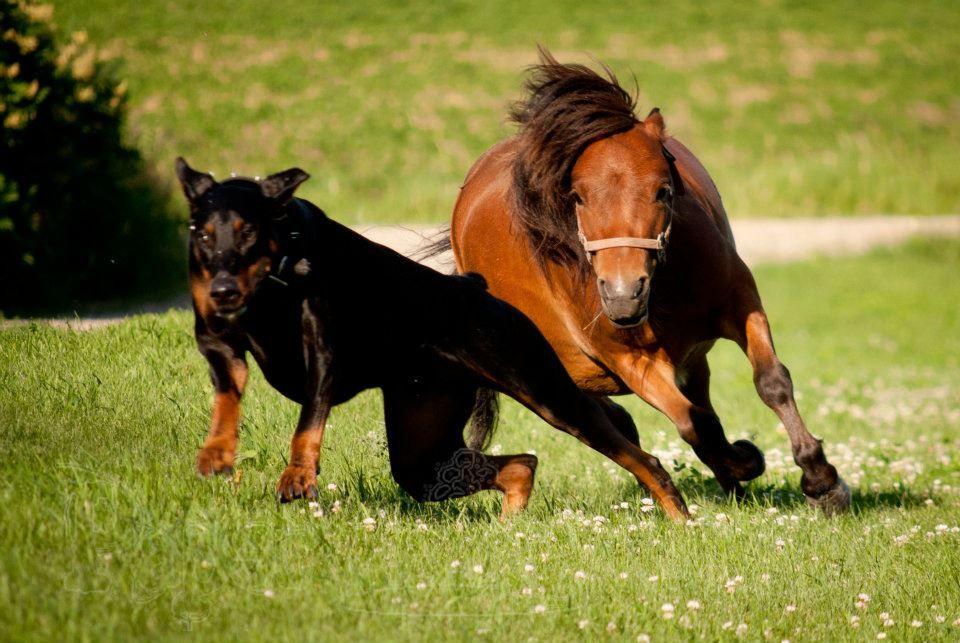 Картинки доберман и лошадь
