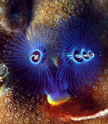 This blue Christmas Tree Worm looks like it could be electric it\u0027s