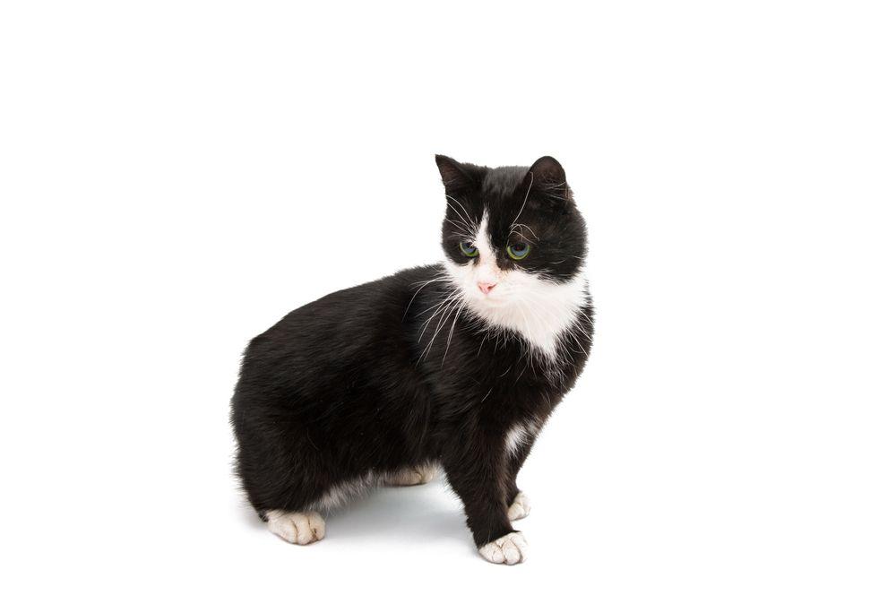 Pin by dyan on dyan black cat breeds cats cat breeds