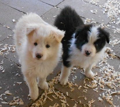 Pin By Jan Reid On Border Collies In 2020 Collie Puppies Border Collie Puppies Puppies