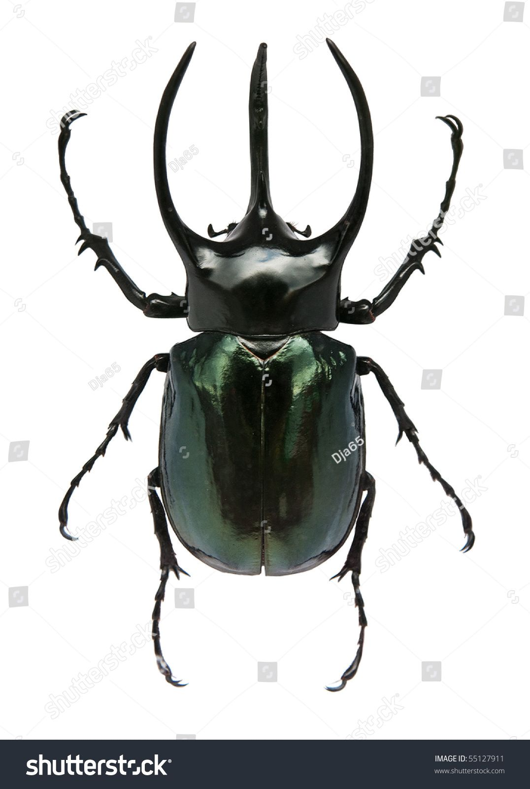 Found on Google from shutterstock com | horney | Insects, Beetle