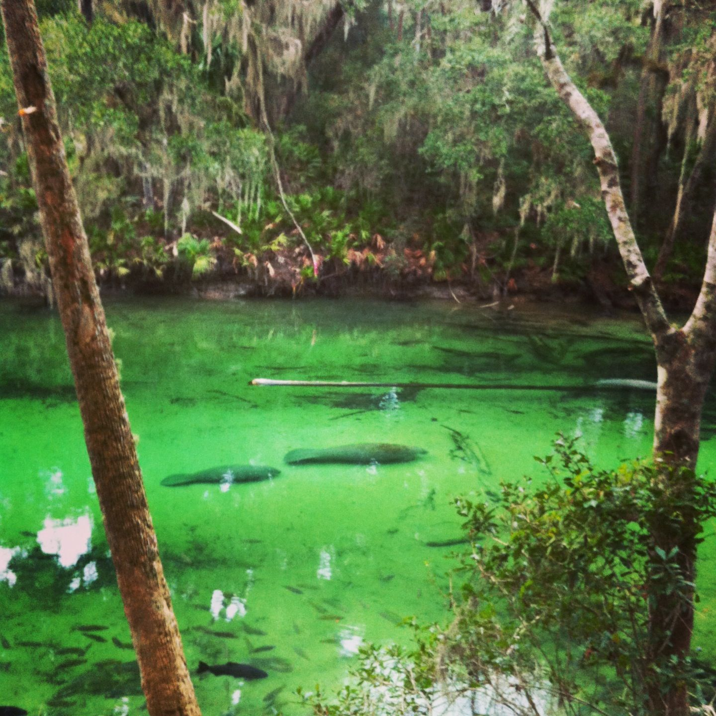 Blue Springs State Park Florida A Manatee Refuge Blue Springs State Park Florida Travel Orlando Vacation