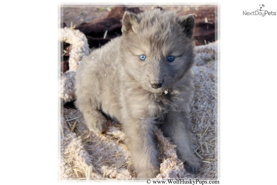 Wolf Hybrid Puppy For Sale Near Tampa Bay Area Florida B9fef777