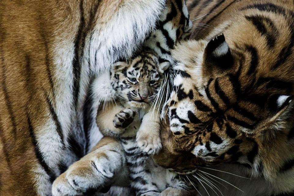 Tiger mom cuddles with baby Animals, Animal tracks