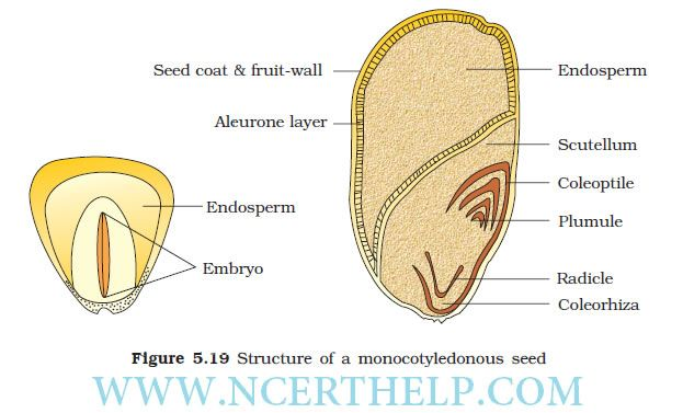 Structure Of A Monocotyledonous Seed Fruit Seeds