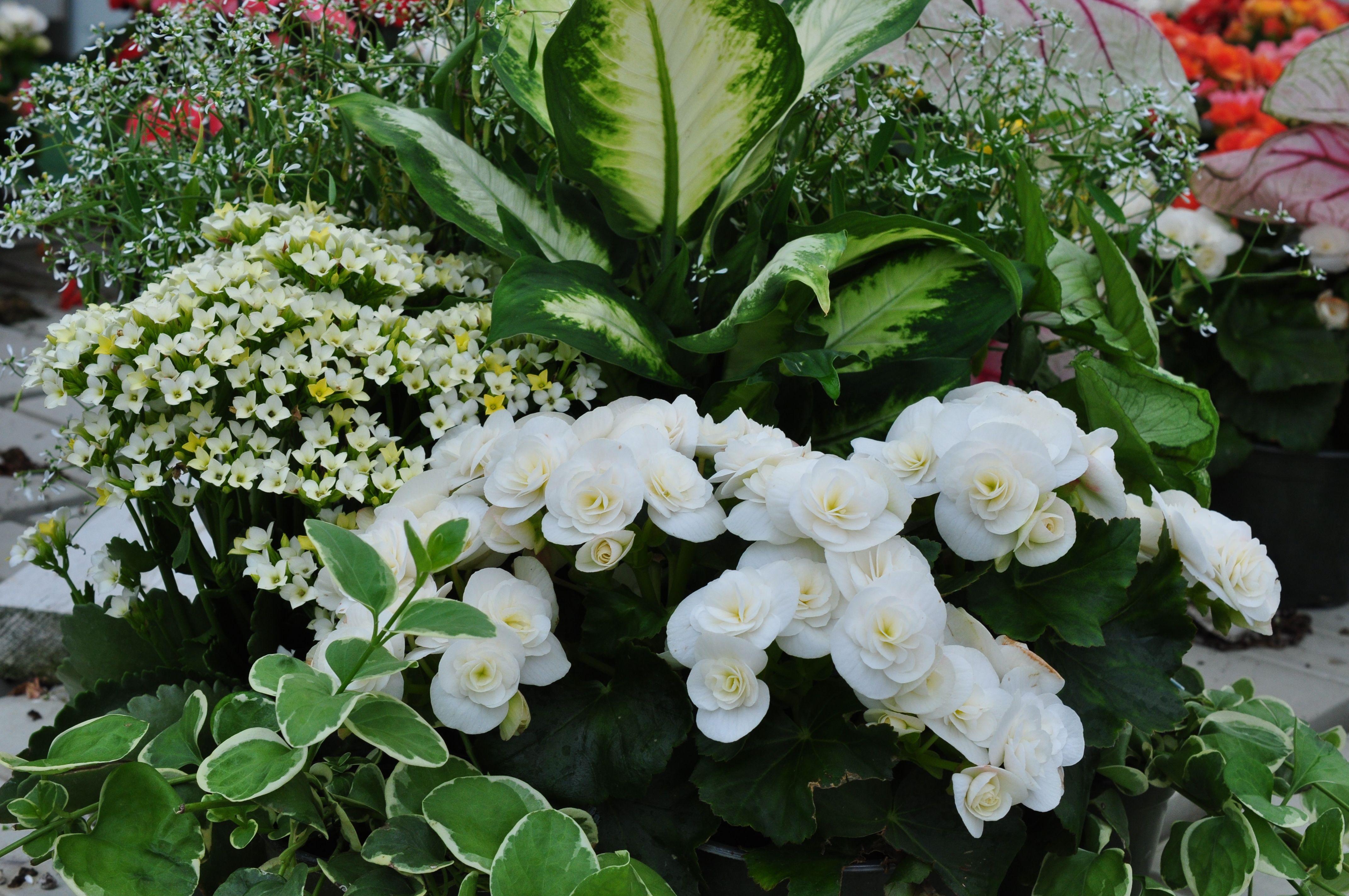 Whitecontainergardens These White Reiger Begonias Make A Nice