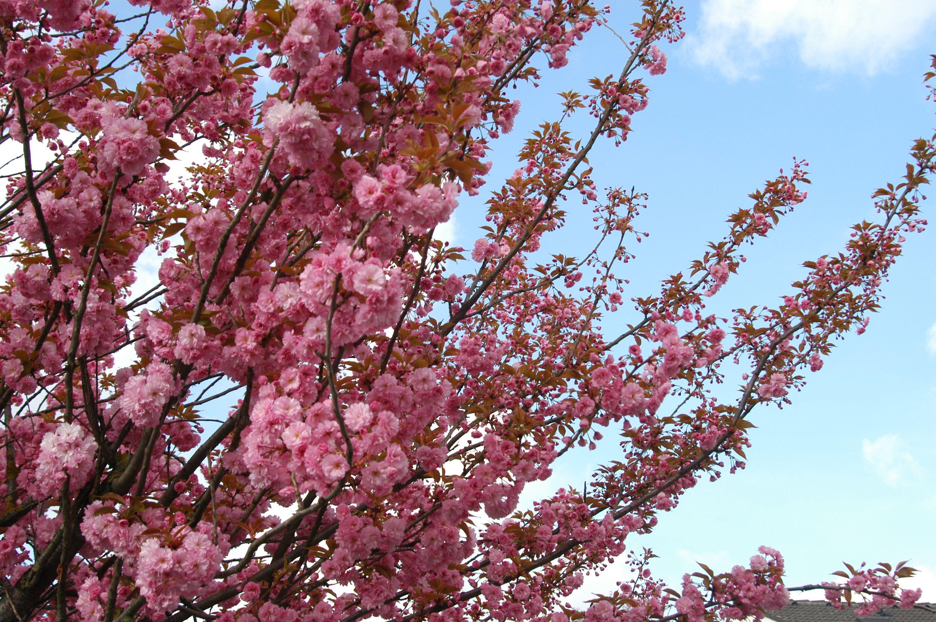 Japanische zierkirsche fotos zierkirsche japan und kirschen - Japanische gartenpflanzen ...
