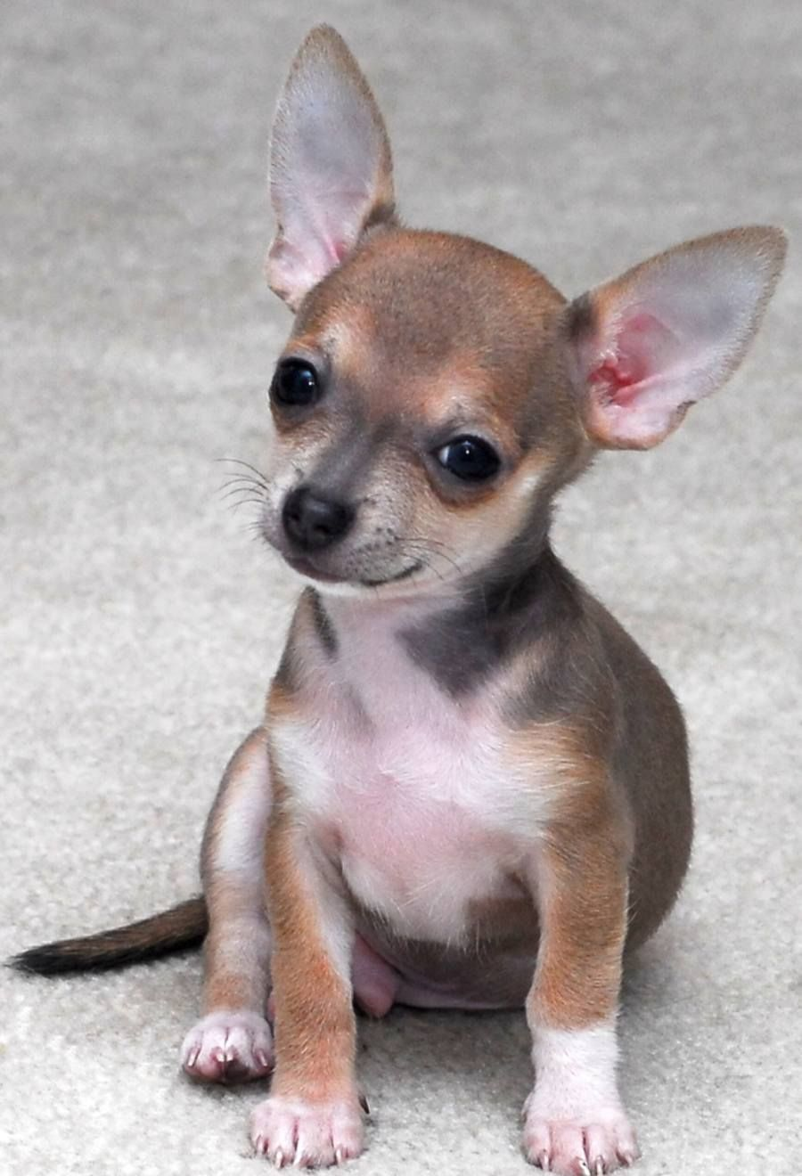 Chocolate Sabled Fawn Chihuahua I have never seen one