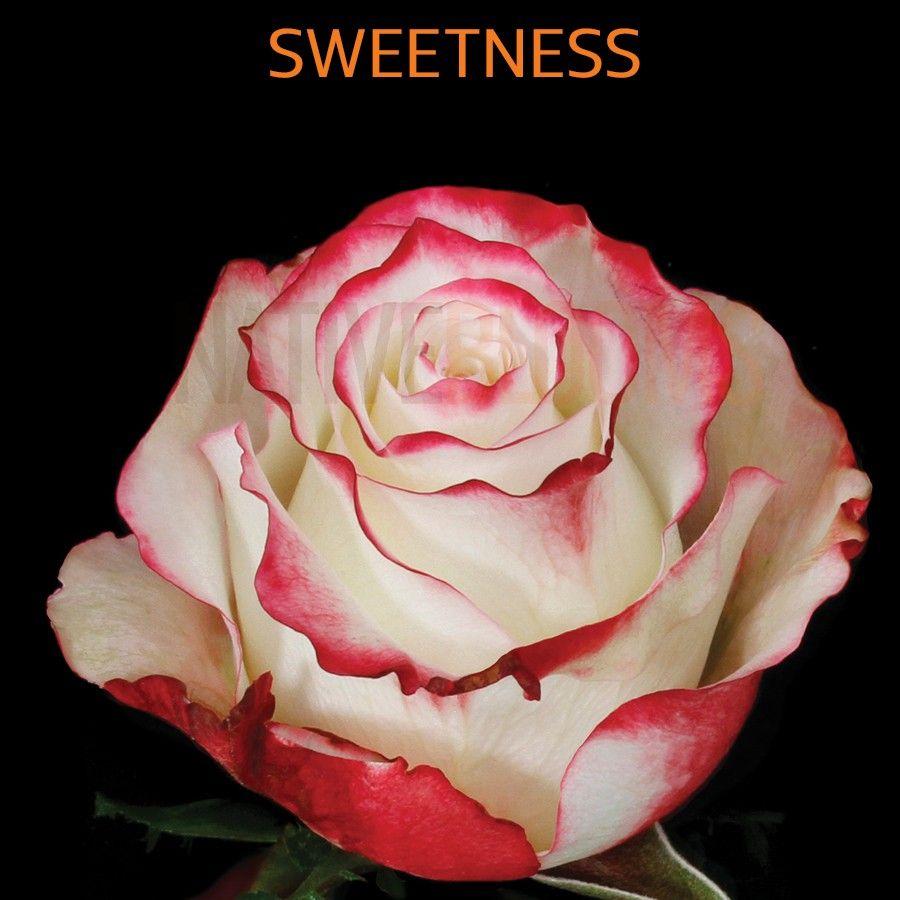 Http Nativeblooms Com Media Catalog Product Cache 1 Image Ffc93e769927f13a3b68c43a7cbdb5df S W Sweetness Roses Jpg Roses Only Rose Ecuadorian Roses