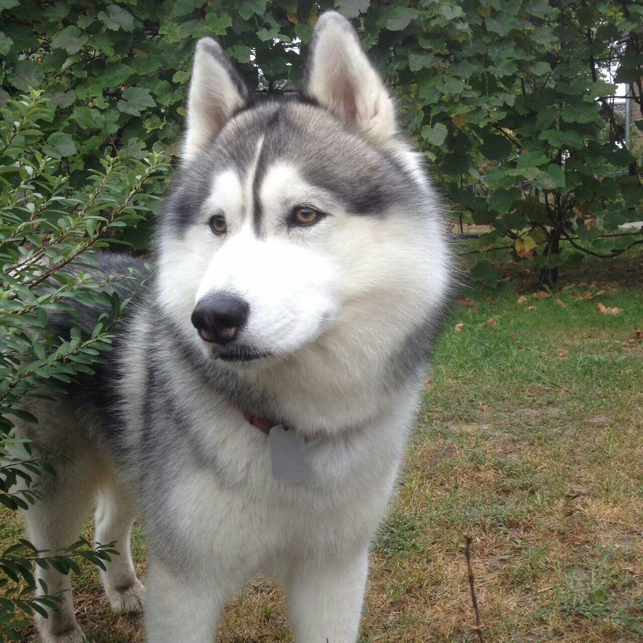 Pin By Valeriia Maksymovych On Archi Siberian Husky Husky Snow Dogs