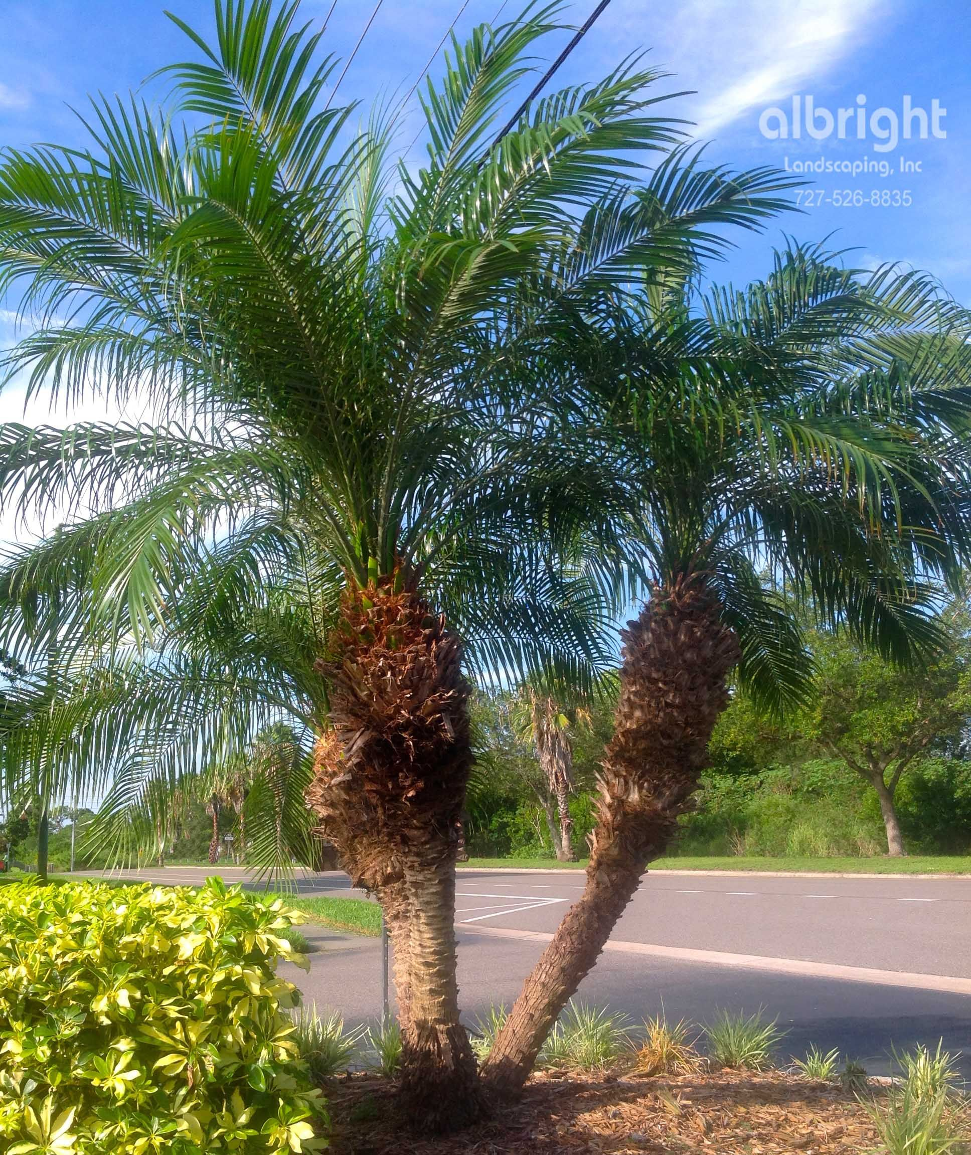Pygmy date palm roebelenii palm tree tropical landscape for Garden design with palms