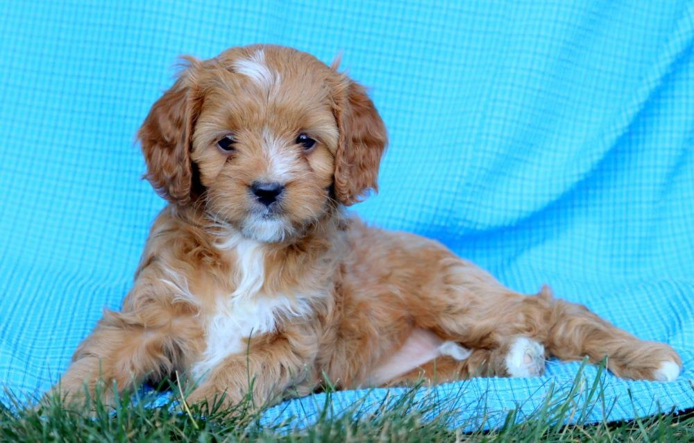 Glitter Cavapoo Puppy For Sale Keystone Puppies Cavapoo Puppies For Sale Cavapoo Puppies Puppies For Sale