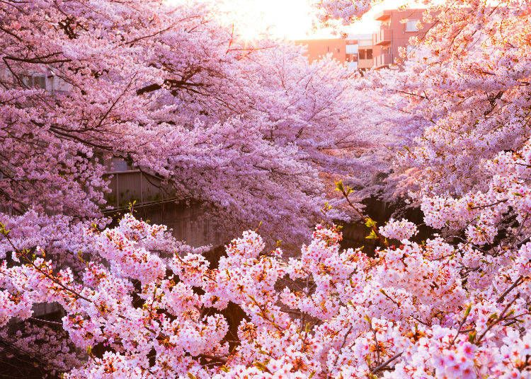 These 20 Weird Facts About Japanese Cherry Blossom Trees Will Make You Feel Instantly Smarter Live Japan Travel Guide Cherry Blossom Hanami Japanese Cherry Blossom