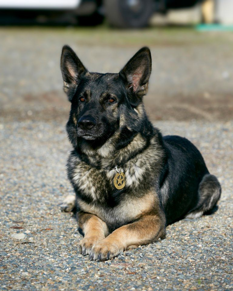 K9 Bandit From The Sacramento Police Canine Unit Working Dogs