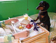 dachshund-breakfast-in-bed