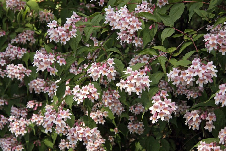 Kolkwitzia amabilis beauty bush small pink flowers bark ex foliates kolkwitzia amabilis beauty bush small pink flowers bark ex foliates roughly bristle fruit persists mightylinksfo