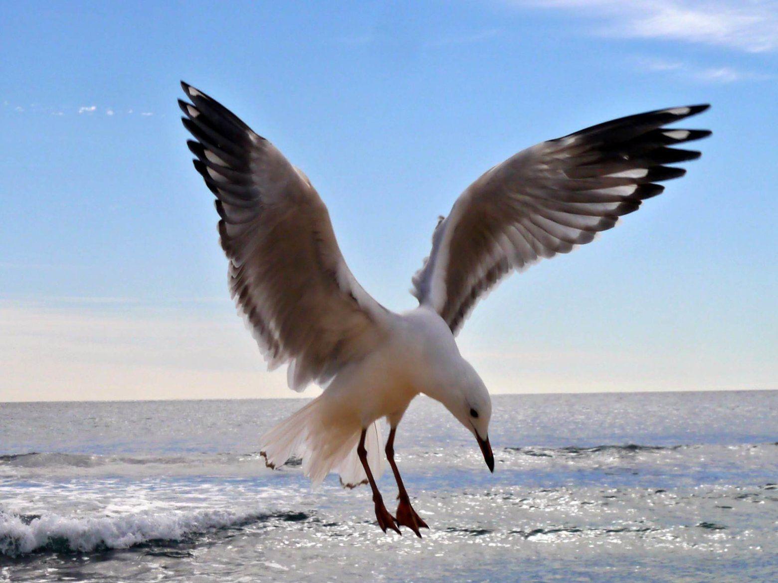 Flying seagull bird ocean beach blue sky waves