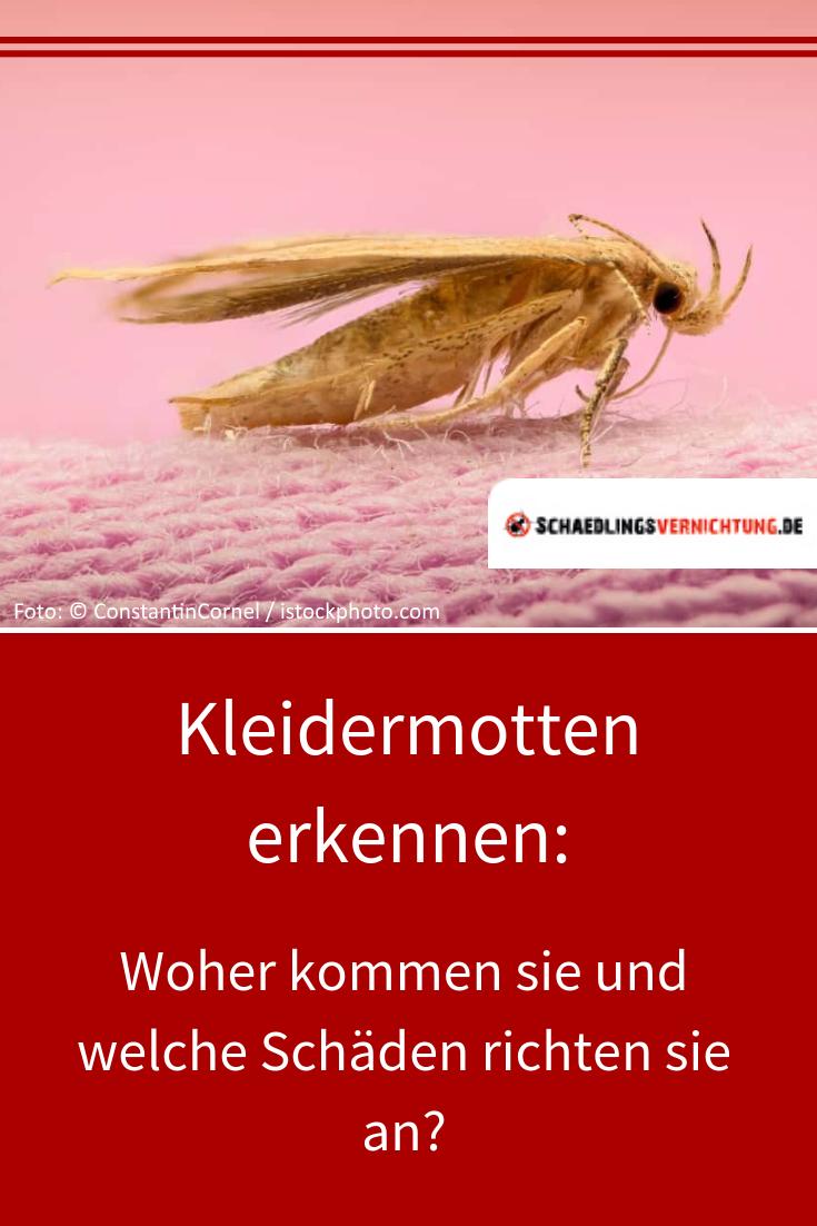 Kleidermotten Erkennen Woher Kommen Sie Und Welche Schaden Richten Sie An Motten Kleidermotten Schadlinge Schadlin Kleidermotten Motte Lebensmittelmotten