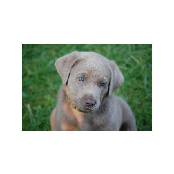Labradorzucht,labrador grau, charcoal, silver labrador