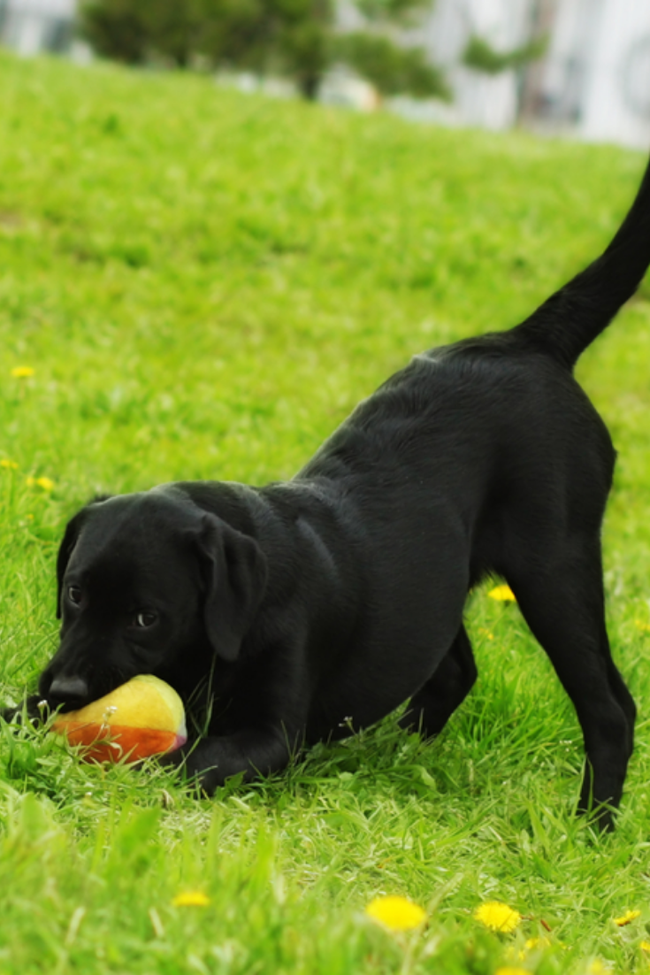 Playful Black Labrador Puppy Plays With Ball In Summer On The Grass Funny Dog Pet Labradorretriever Golden Retriever Labrador Labrador Retriever Labrador
