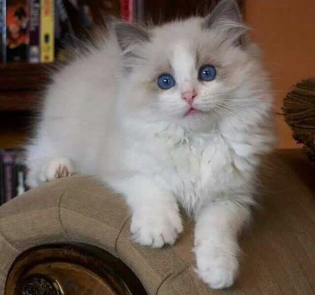 Ragdoll Ragdoll Cat Cute Cats Kittens