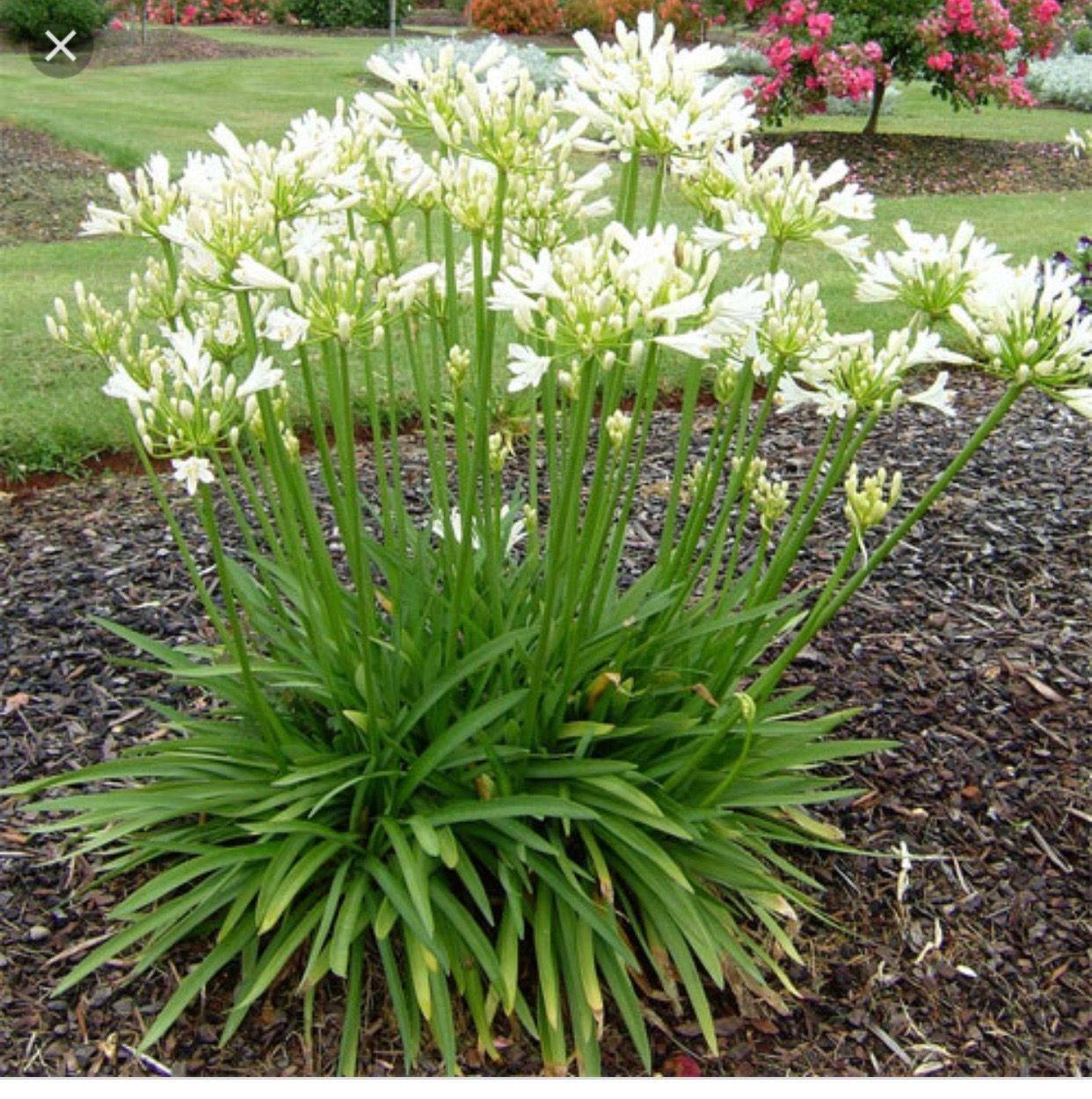 Agapanthus africanus 'Peter Pan Plants, White gardens