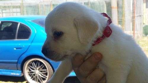 Golden Labrador Puppies Labrador Retriever Puppies For Sale