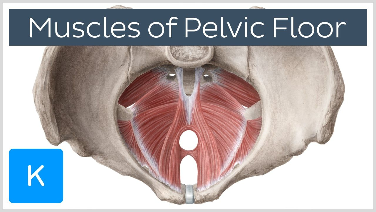 Muscles of the Pelvic Floor | Pelvic floor, Muscles and Exercises