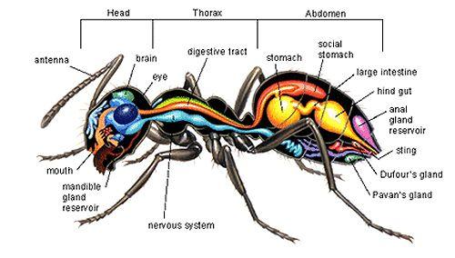 Anatomy of an ant | Ants, Anatomy, Arthropods
