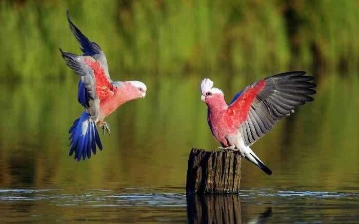 Red Birds Flying With Green Nature Beautiful Bird Wallpaper Animals Birds Wallpaper Hd