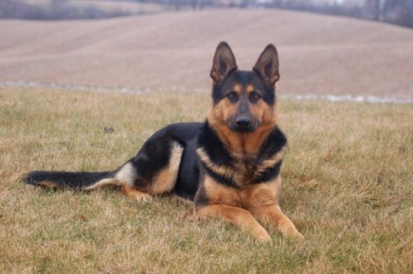 """German Shepherd saved owner from suicide attempt.   """".... """"At the moment she pulled the trigger, her dog jumped on her and diverted the shot,"""""""