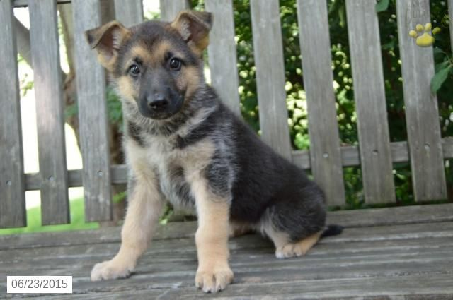 German Shepherd Puppy For Sale In Indiana Buckeyepuppies