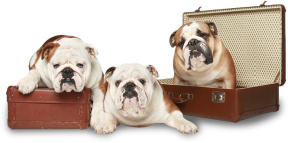 When searching for English bulldogs for sale in Texas, you