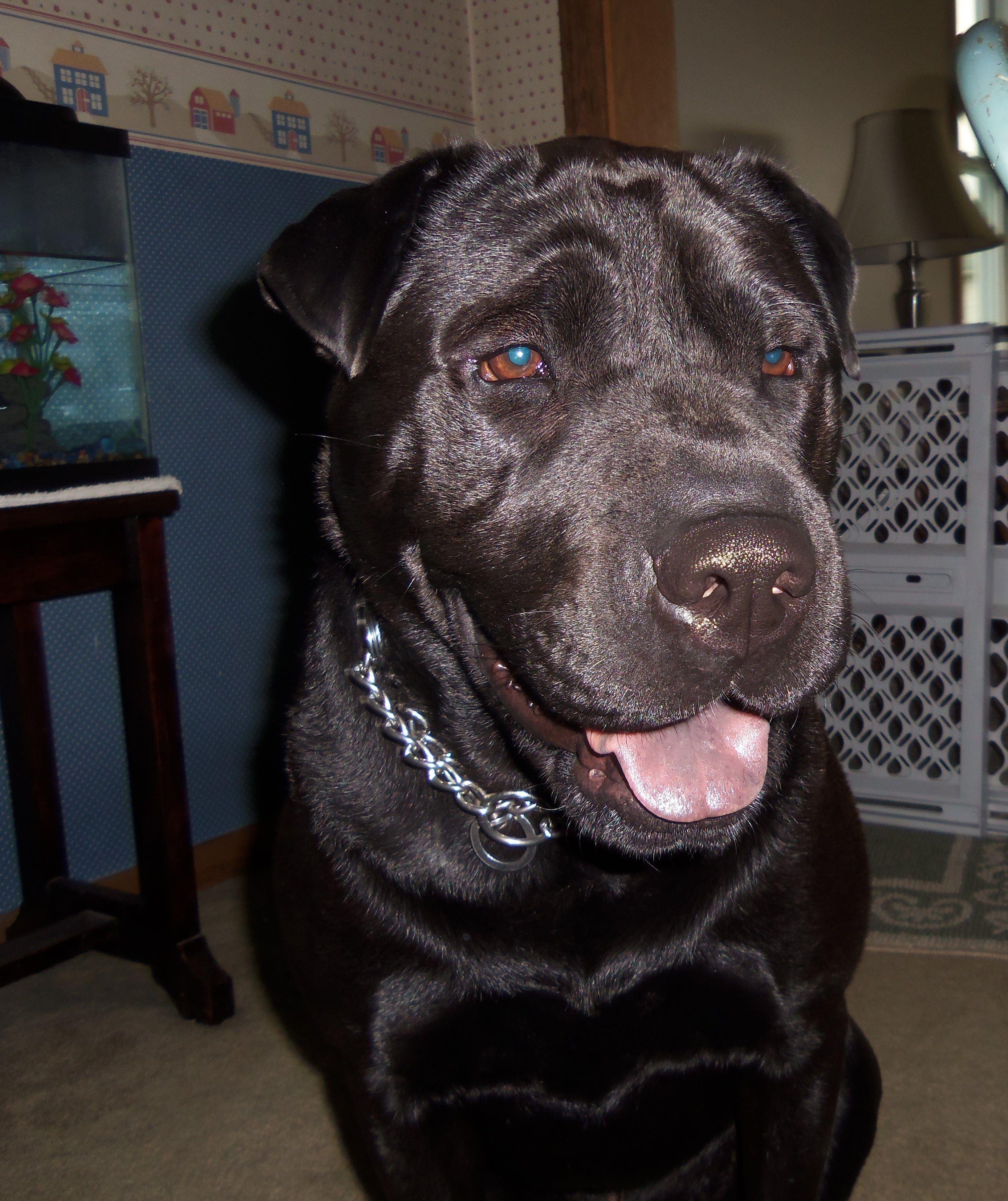 Black Lab Shar Pei Mix My Dog Jake With Images Shar Pei