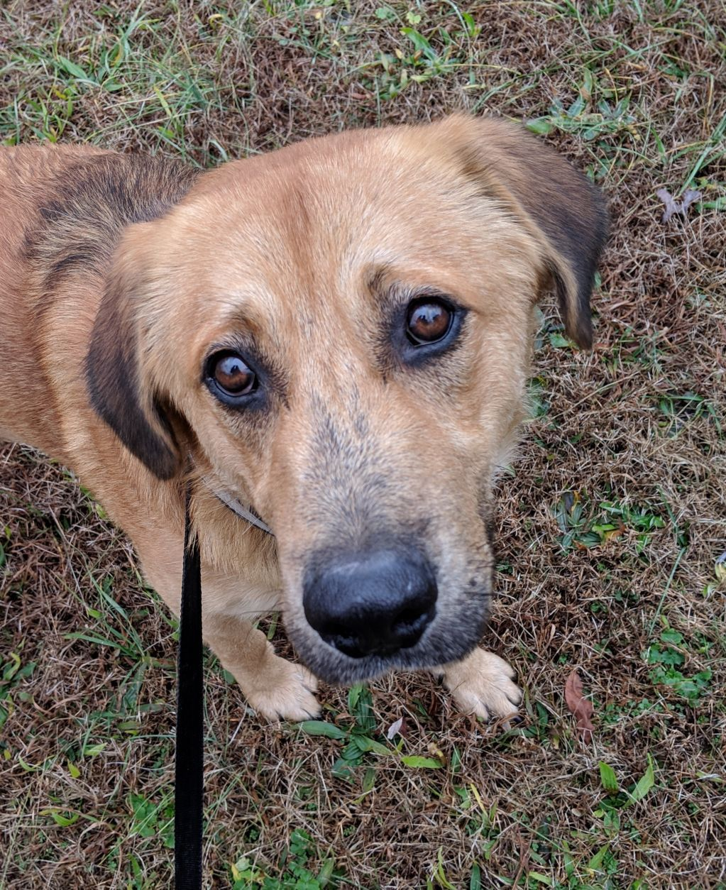 Adopt johnny on animal rescue rescue dogs golden