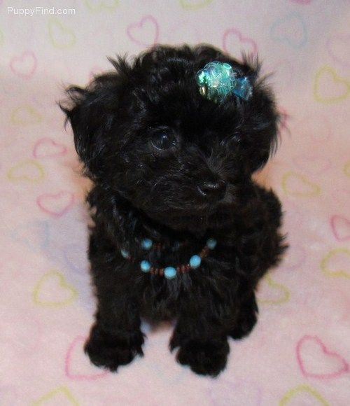 Maltipoo This Better Be What Lulu S Puppies Look Like Maltipoo