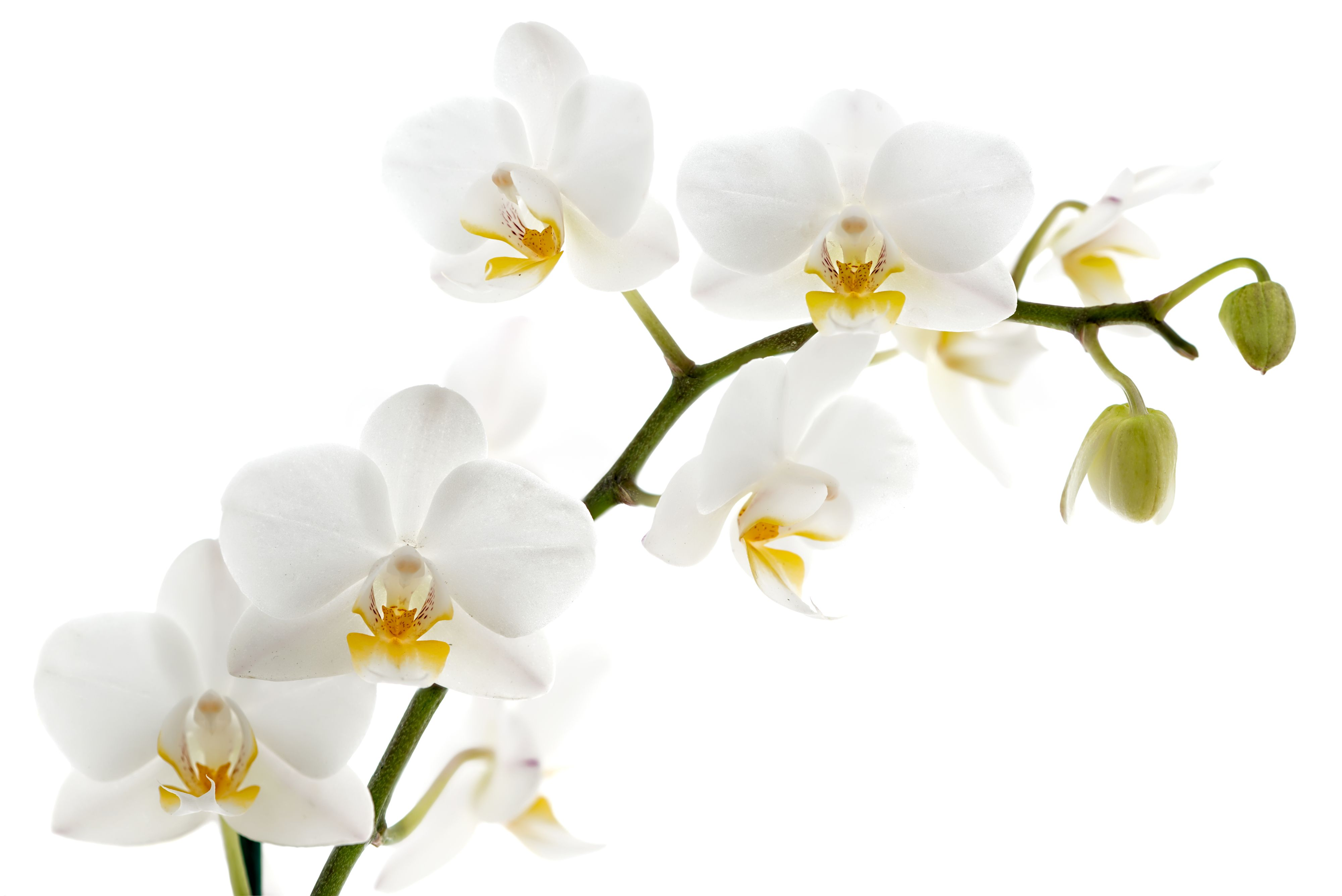 Gaeroladid White Orchid Flower Images Flowers Pinterest