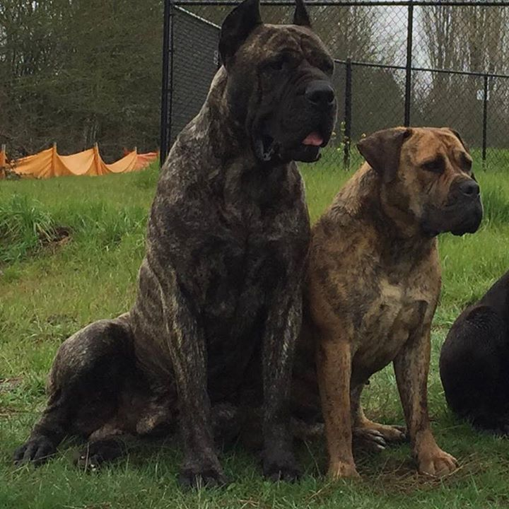 best dog food for great danes south africa