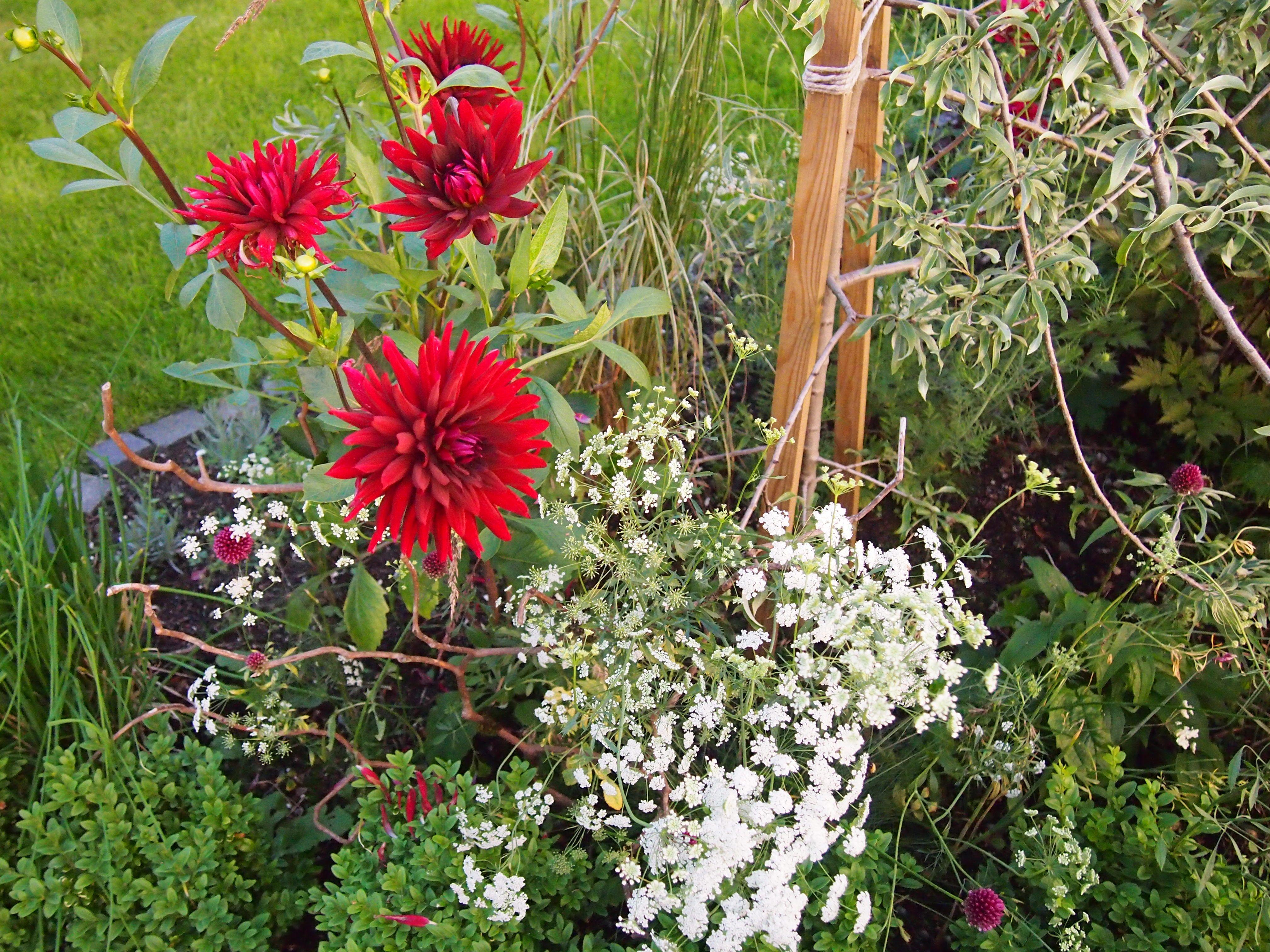 August_2013_Dahlia, Ammi Majus, Allium sphaerocephalon, Pyrus salicifolia