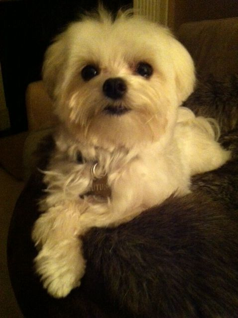 Maltese Puppy Brutus Sooo Cute Maltese Puppy