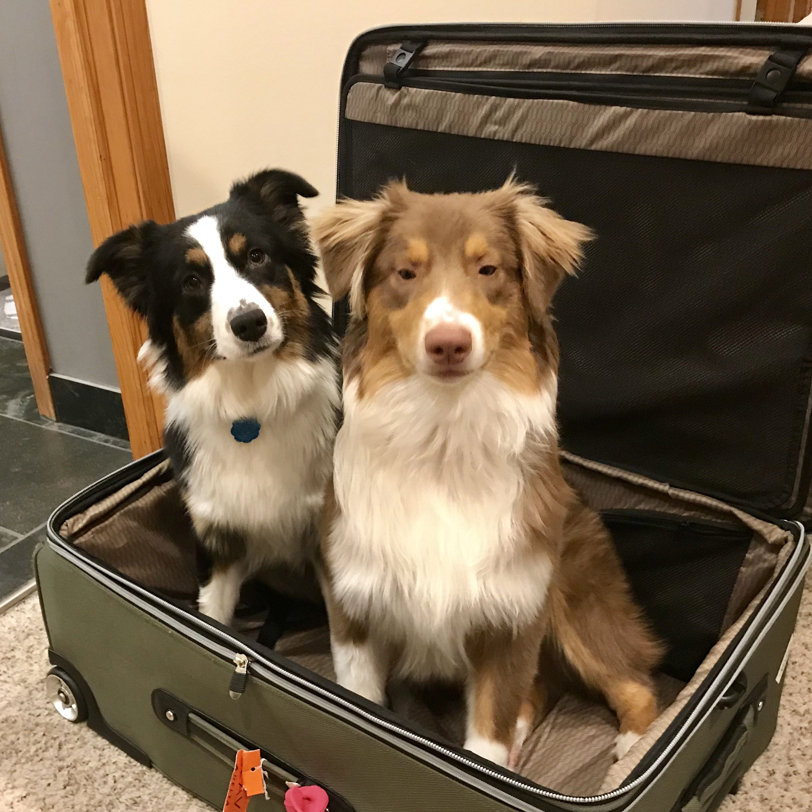Our Australian Shepherds are objecting to our next trip.