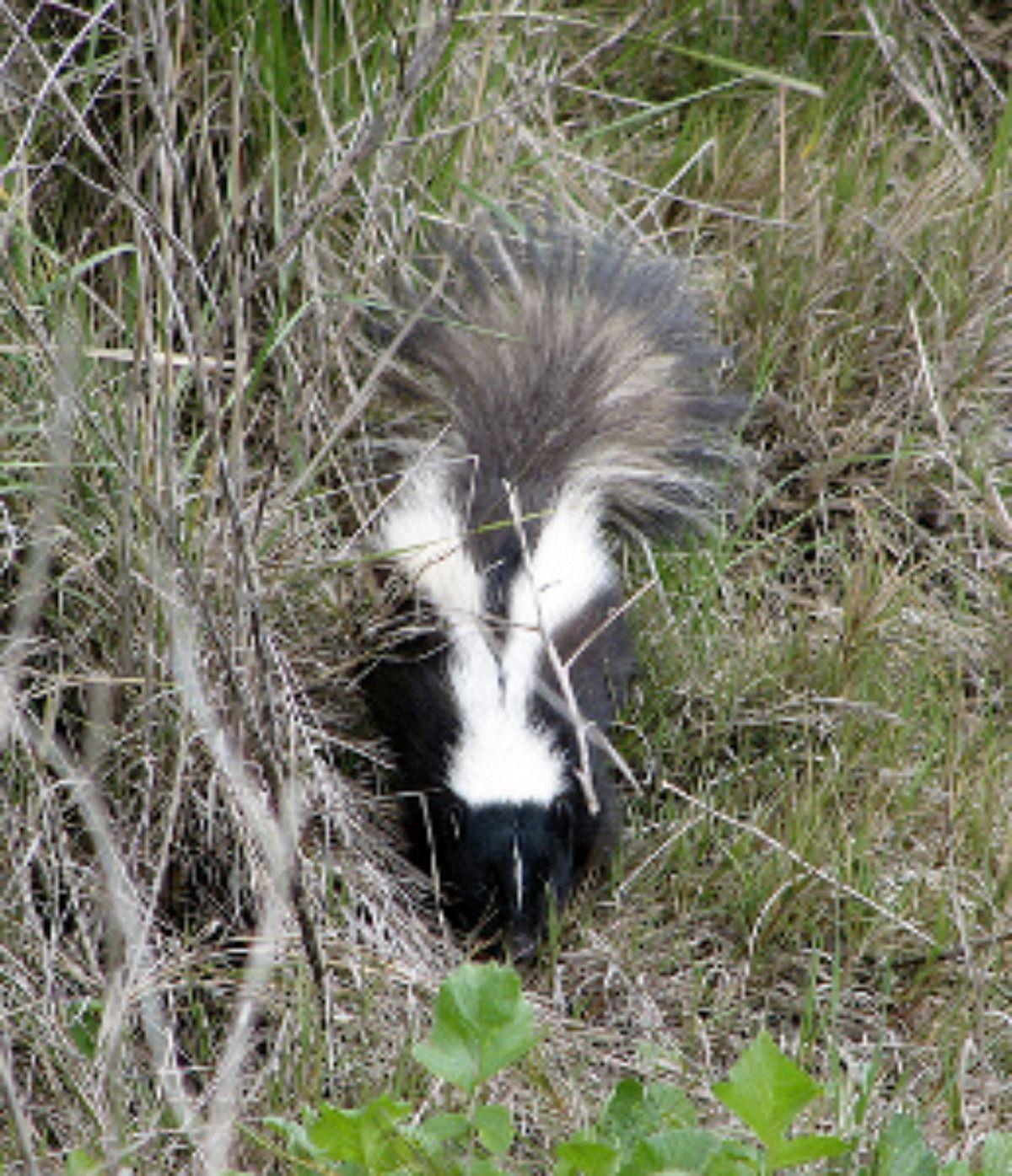 It Stinks When A Homeowner Has To Encounter A Skunk Backyard Animals Skunk Spray Skunk